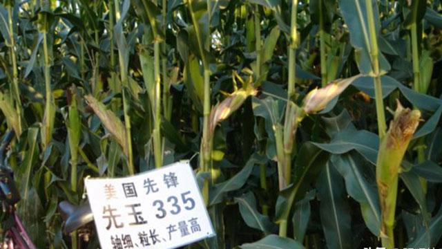 """美国杜邦集团旗下先锋公司选育的杂交玉米种子""""先玉335"""",推广至今已10余年,是东北、华北玉米产区种植的主要玉米品种。(微博图片)"""